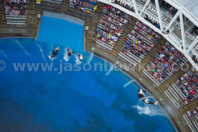 The Shamu SeaWorld show is world famous and features a majestic performance by the park's killer whales.