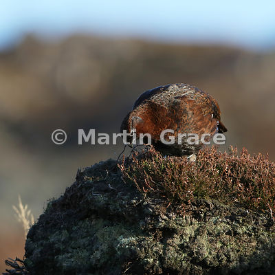 Red Grouse (Lagopus lagopus scotica) feeding on the shoots of Heather (Ling) (Calluna vulgaris), early January, Lochindorb, Scottish Highlands