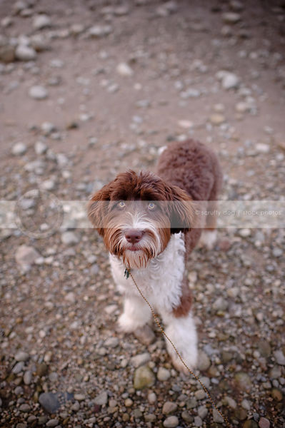 brown and white portuguese water dog staring upward