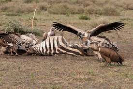 vulture_carcass_party201104