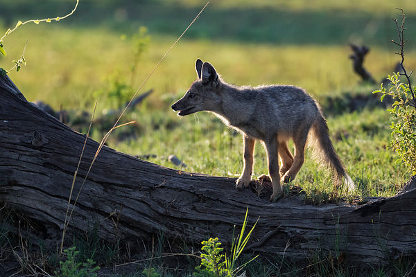 Side-striped Jackal Climbing on a Fallen Tree
