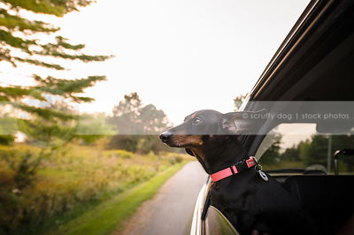 dachshund with big ears riding in car