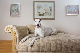 Greyhound Lying on Couch in Living Room