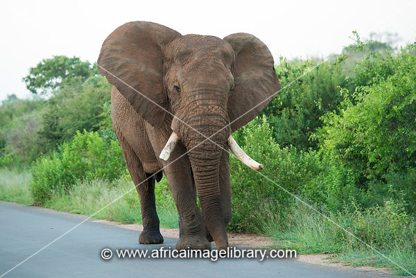 Elephant walking on the road, Loxodonta africana, Kruger National Park, South Africa
