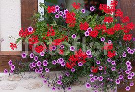 photo de pelargonium peltatum jardini re de g ranium m lange fotoflor grand choix de. Black Bedroom Furniture Sets. Home Design Ideas