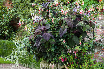 Container planted with Ageratum corymbosum, fuchsias, black flowered Salvia discolor and peperomia