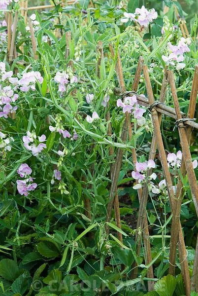 Perennial pea twines through a simple fence of bamboo canes around the cutting garden. Yews Farm, Martock, Somerset, UK