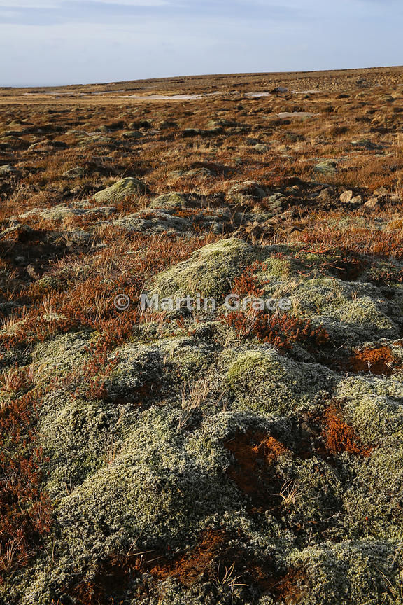 Moss-covered lava field in Reykjanesfolkvangur Public Recreation Area or Country Park