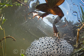 Common Frog, Rana temporaria and frog spawn in pond in spring North Norfolk