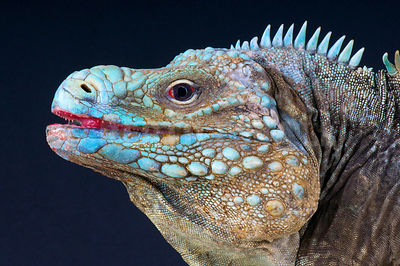 Blue Iguana (Cyclura lewisi) photos