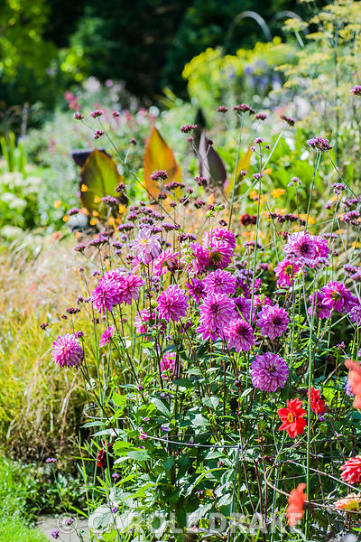 Colourful mix of dahlias and Verbena bonariensis with border behind including Pheasant grass, Anemanthele lessoniana and framed with a clipped yew pyramid.