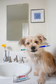 Small terrier mix dog sitting on sink and holding toothbrush in mouth