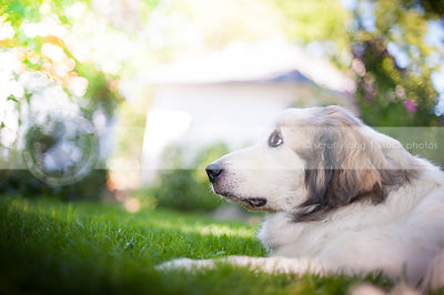 worried great pyrenees dog looking skyward with bokeh background