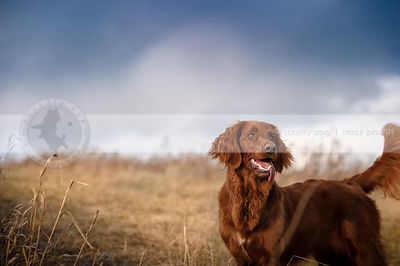 red setter cross breed dog standing in open field under stormy sky