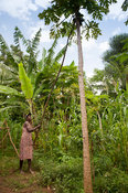Lady with long stick knocking ripe Papaya fruit out of tree. Kenya.