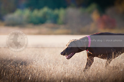 brown gundog hunting sniffing in field with bokeh background