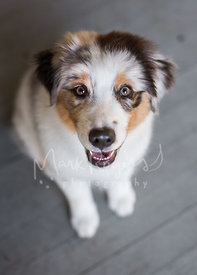 Australian Shepherd Puppy Looking Up