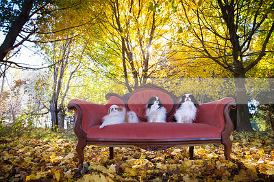three little dogs on settee in autumn trees with sunflare