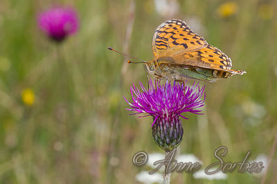 Grand Nacré (Argynnis aglaja) photos