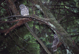 May - Barred Owlets