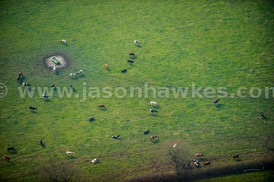 Aerial view of cows grazing in field