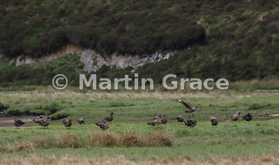 Great Skuas (Bonxie) (Stercorarius skua, Catharacta skua) preening after bathing in Loch of Cliff, Hermaness National Nature Reserve, Unst, Shetland