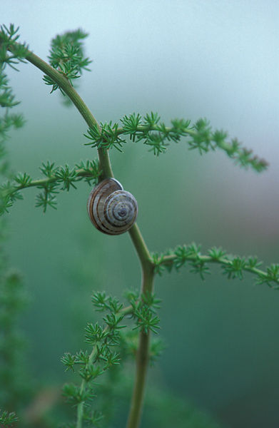 Snail shell on asparagus