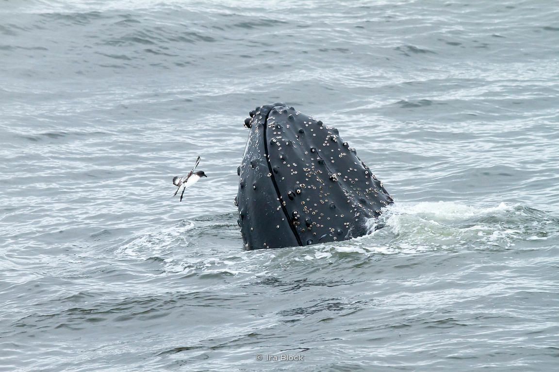 A humpback whale found at the ocean around the Antarctic Peninsula.