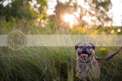 tired senior brindle pug cross dog panting sitting in summer grasses