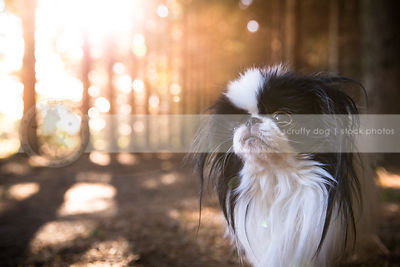 longhaired toy breed dog in pine trees with sunshine