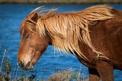 Gorgeous wild horse (Equus ferus caballus) foraging in Sinepuxent Bay, Assateague Island, Maryland