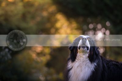 portrait of large tricolor dog howling in summer with bokeh background