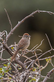 Rufous-crowned Sparrow, Aimophila ruficeps, in the Organ Mountains