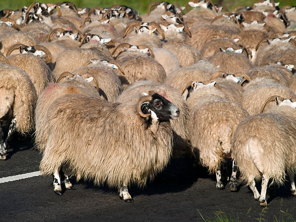 Flock of Blackface sheep.