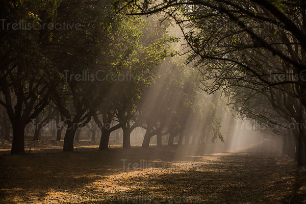 An almond grove with the morning sun filtering through the dust