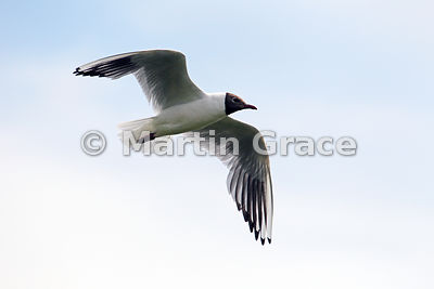 Black-Headed Gull (Larus ridibundus, Chroicocephalus ridibundus) in flight, Leighton Moss, Lancashire, England