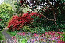 Red flowered rhododendrons and azaleas in the South Garden amongst a carpet of bluebells. Trewidden, Buryas Bridge, Penzance, Cornwall, UK