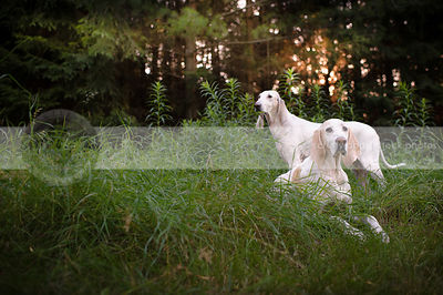 two porcelaine hounds posing in summer grasses