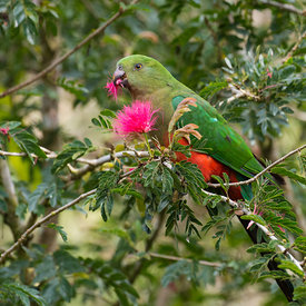 Australian King Parrot wildlife photos