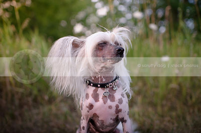 chinese crested freckled dog wearing jeweled collar with eyes closed sitting in grasses