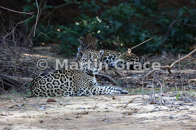 My first encounter with this male Jaguar (Panthera onca) known as Merlin (foreground) and a female known as Pantaneira (behind) on a sandy area above the river, Northern Pantanal, Mato Grosso, Brazil: Image 1 of a sequence of 29