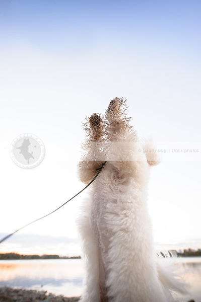 little white dirty fluffy dog dancing on two legs on beach