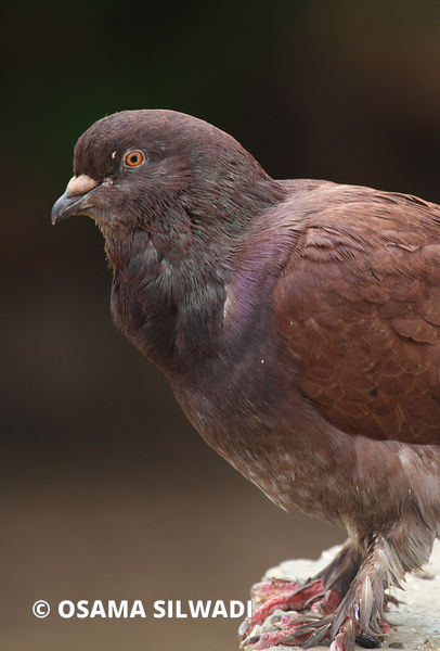 Domestic pigeon photos