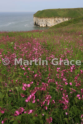 Red Campion (Silene dioica), Flamborough Head, East Riding of Yorkshire, England