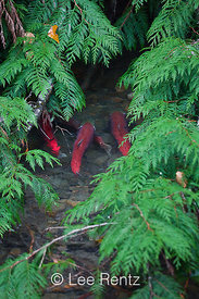 Sockeye Salmon and Cedar Boughs along Adams River