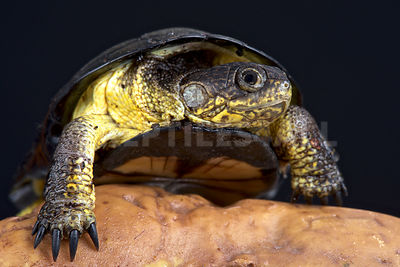 African dwarf mud turtle (Pelusios nanus) photos