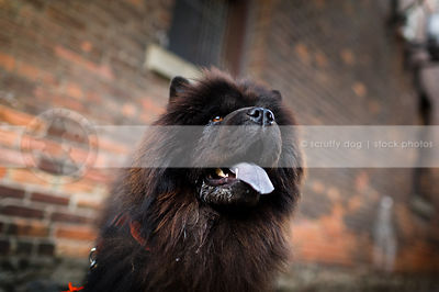 portrait of shaggy black chow dog panting at urban brick wall