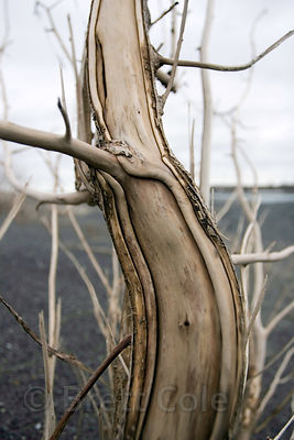 Weathered willow (sp.) trees, Copper River Delta, Alaska