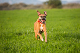 Tan and White Boxer Dog Running on Grass