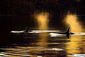 Vancouver_Island_Whales_golden_glow